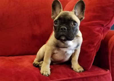 Frenchie bulldog puppy Ottis sitting on a couch at Executive Dog Lounge.