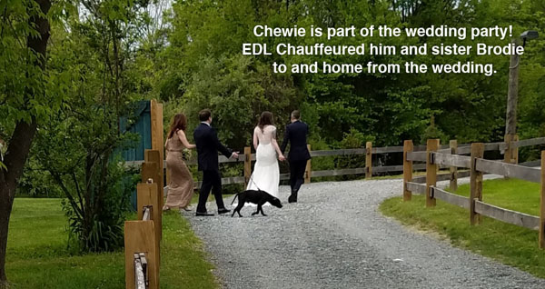 Chewey walking from wedding ceremony with Best Man. Chauffeur service provided by executive dog lounge.