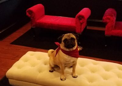 BJ, a pug, sitting on ottoman after grooming at Glamour Pet Salon & Vanity.