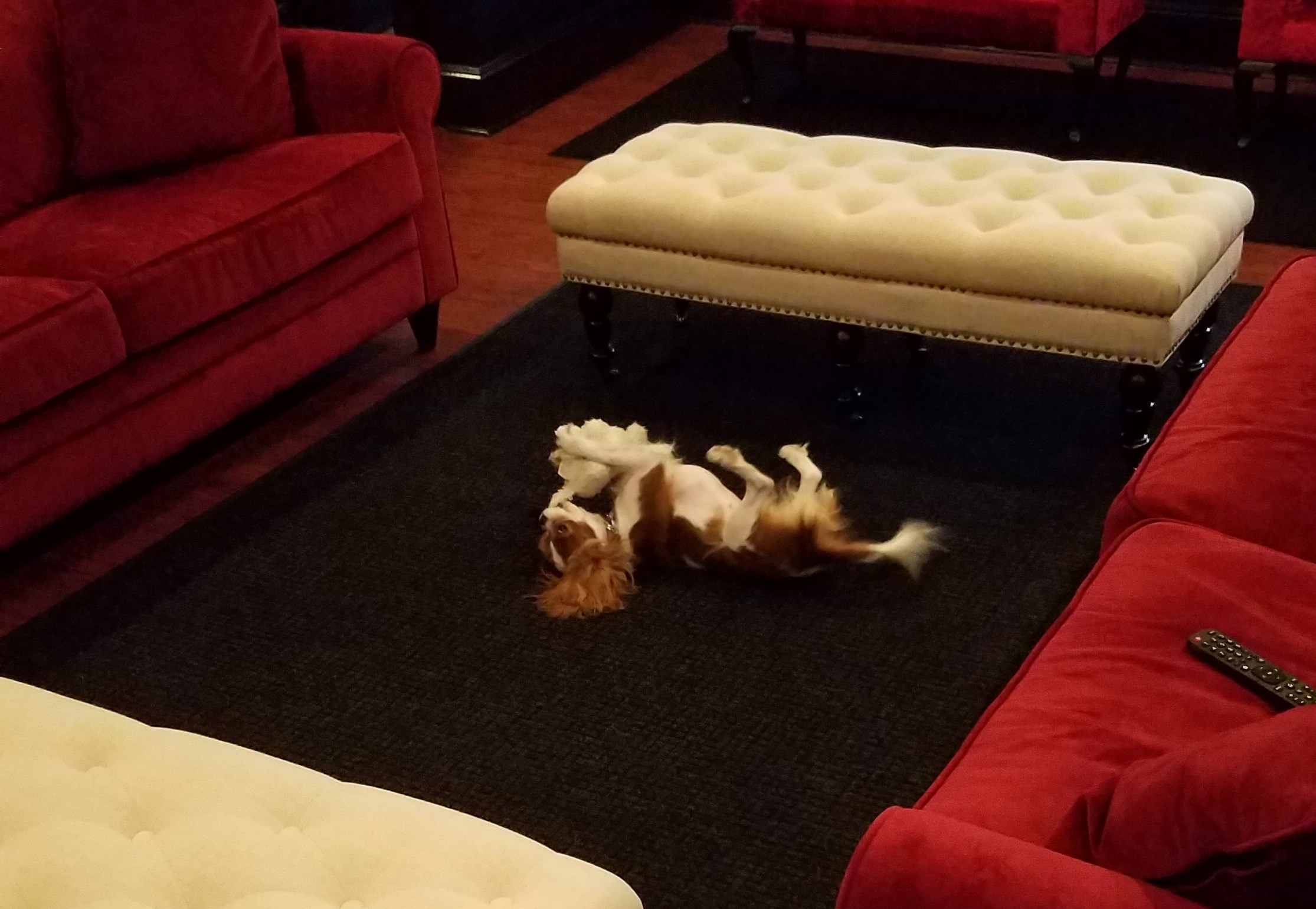 Goldie on her back playing with chew toy on the center carpet at the executive dog lounge.