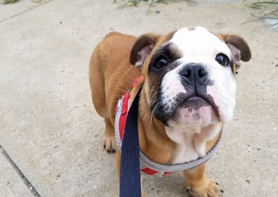 English bulldog puppy, Kate Moss, out for a walk while at Executive Dog Lounge.