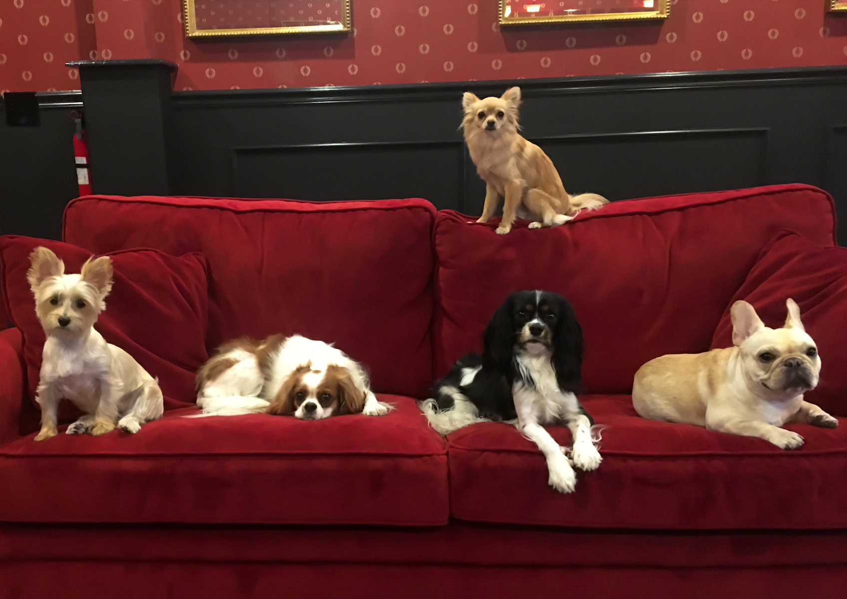 Lilly, Charlie, Chester, Bella and Goldie above, relaxing on sofa after playing in the luxury dog daycare at Executive Dog Lounge in jersey City
