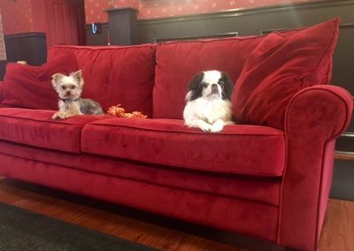 Ollie and Rocco, a yorkie puppy and japanese chin sitting on couch in daycare at Executive Dog Lounge in Jersey City.